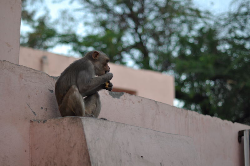 Visitar el Taj Mahal - Monos
