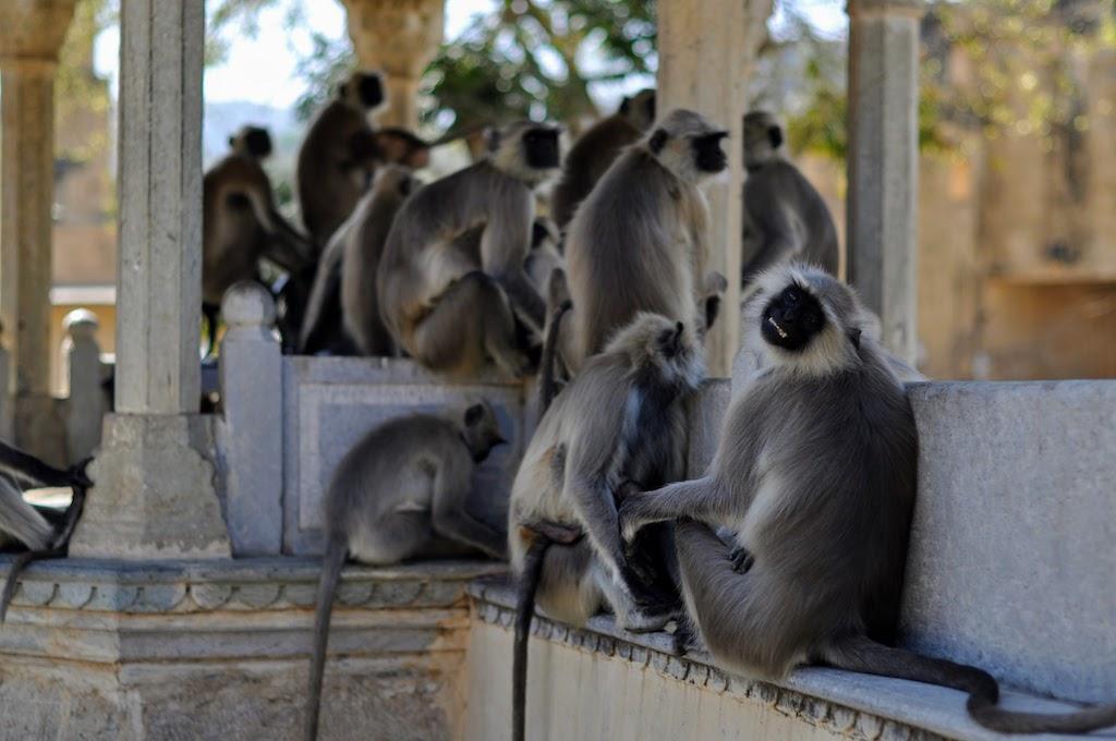 viajar a Jaipur - los monos