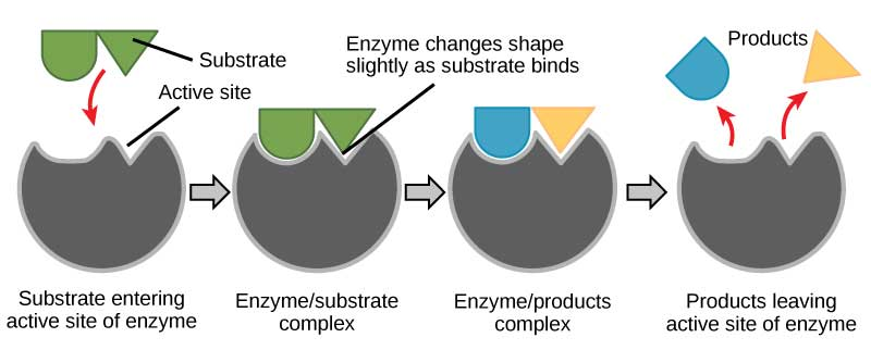 In this diagram, a substrate binds the active site of an enzyme and, in the process, both the shape of the enzyme and the shape of the substrate change. The substrate is converted to products that then leave the enzyme's active site.