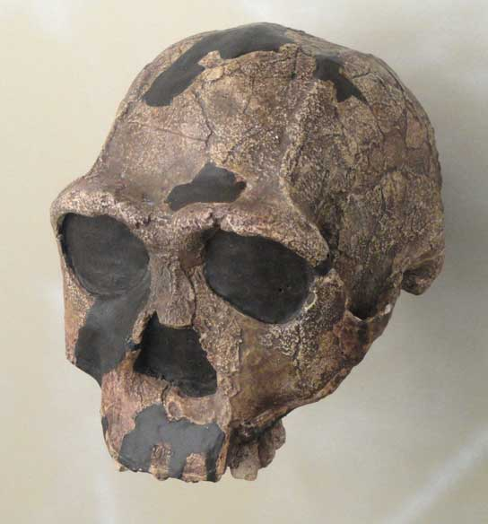 The photo shows a skull that looks similar to a human skull but has prominent brow ridges.