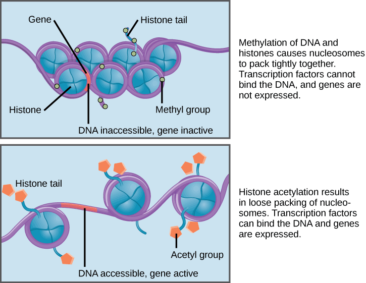Nucleosomes are depicted as wheel-like structures. The nucleosomes are made up of histones, and have DNA wrapped around the outside. Each histone has a tail that juts out from the wheel. When DNA and the histone tails are methylated, the nucleosomes pack tightly together so there is no free DNA. Transcription factors cannot bind, and genes are not expressed. Acetylation of histone tails results in a looser packing of the nucleosomes. Free DNA is exposed between the nucleosomes, and transcription factors are able to bind genes on this exposed DNA.