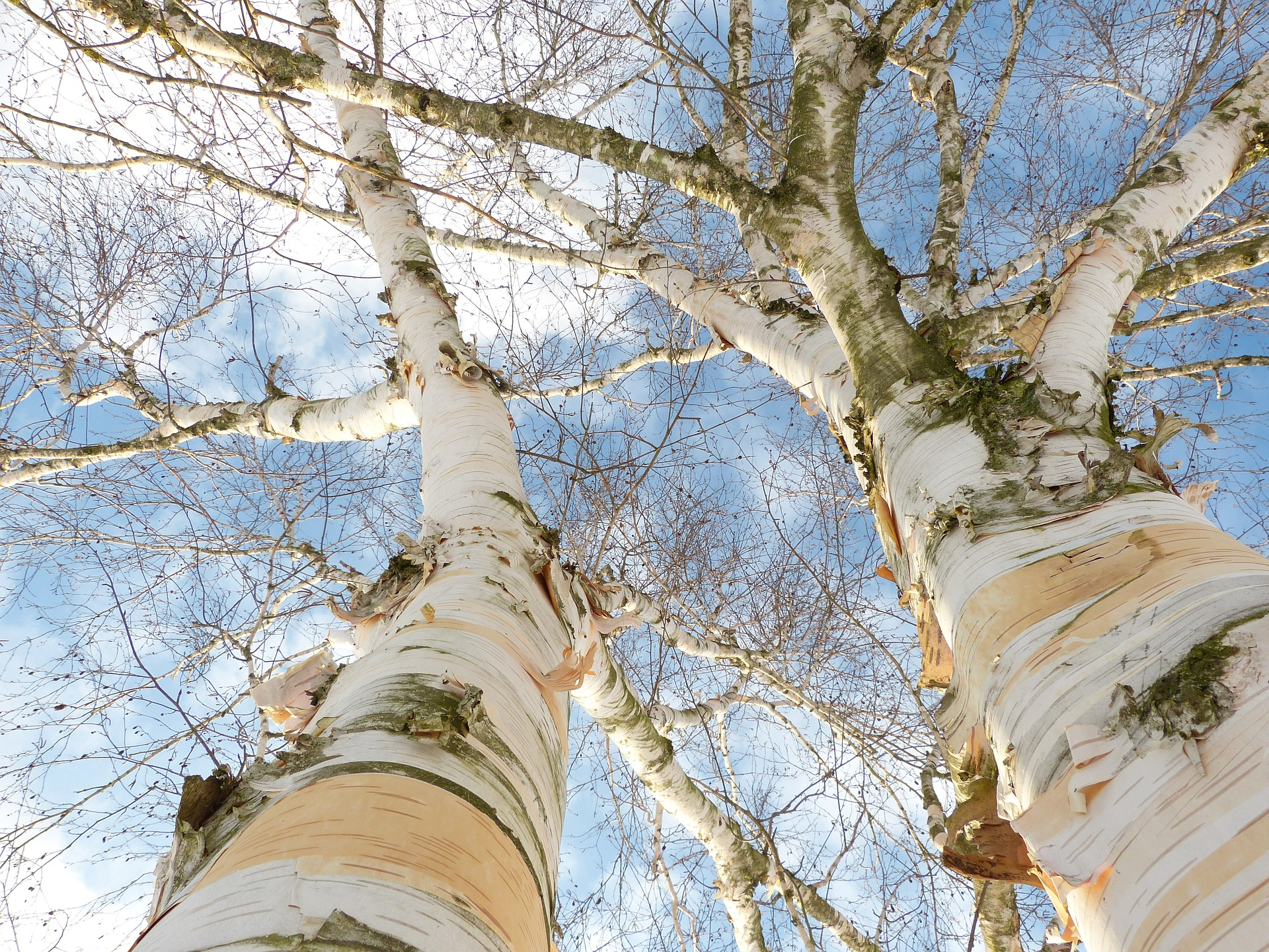 Partners: Two birches standing close to each other, photographed from the bottom. White trunks with branches above them with blue sky.