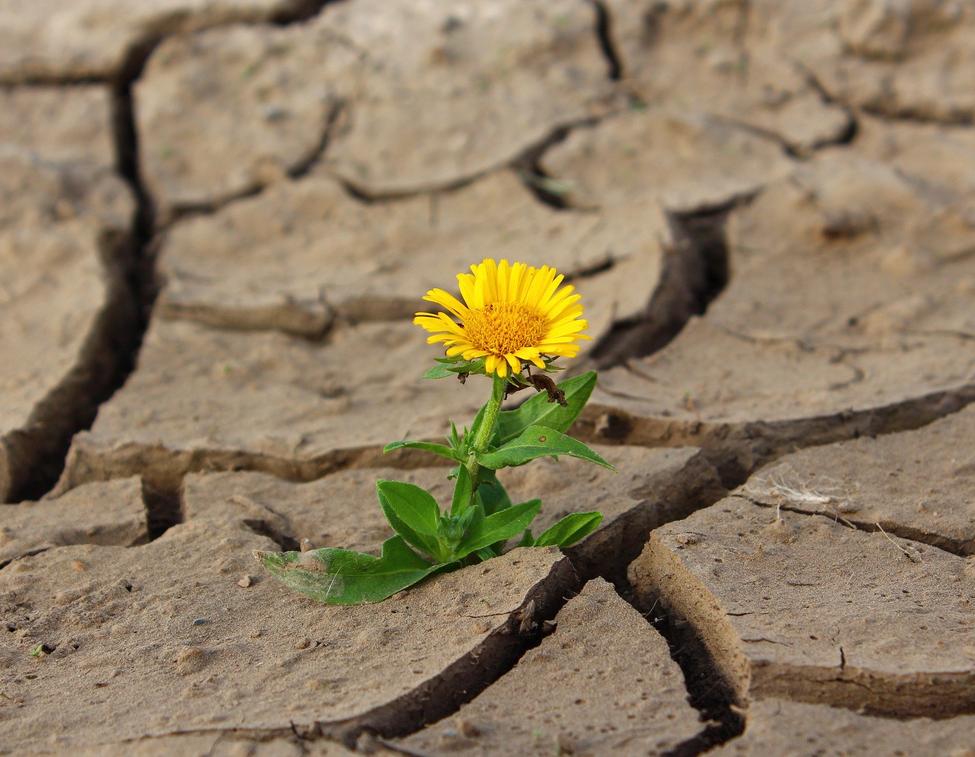Resilience: dried up, cracked earth with a yellow flower.