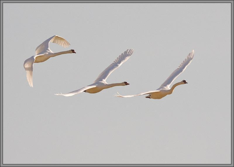 3 Swans In Flight