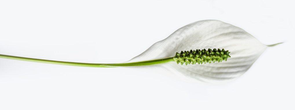 Des fleurs pour Maman: le Spathiphyllum, soins et floraison