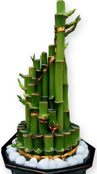 Des fleurs pour maman: lucky bamboo, soins et arrosage.