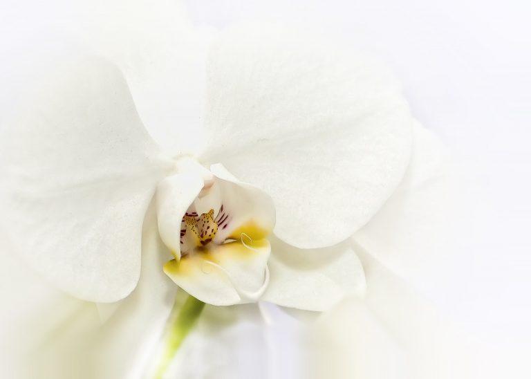 Des fleurs pour maman: orchidée phalaenopsis