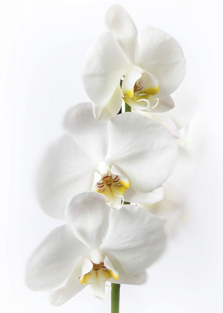 Orchidée Phalaenopsis ou orchidée papillon - soins et floraison