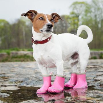 Chien avec bottes de pluie