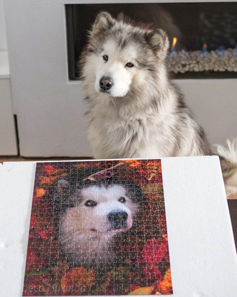 idee photo animal de compagnie :Puzzle personnalisé avec photo de chien , smartphoto - création et photo de @ivar_the_malamute sur instagram