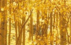 header-golden-aspens