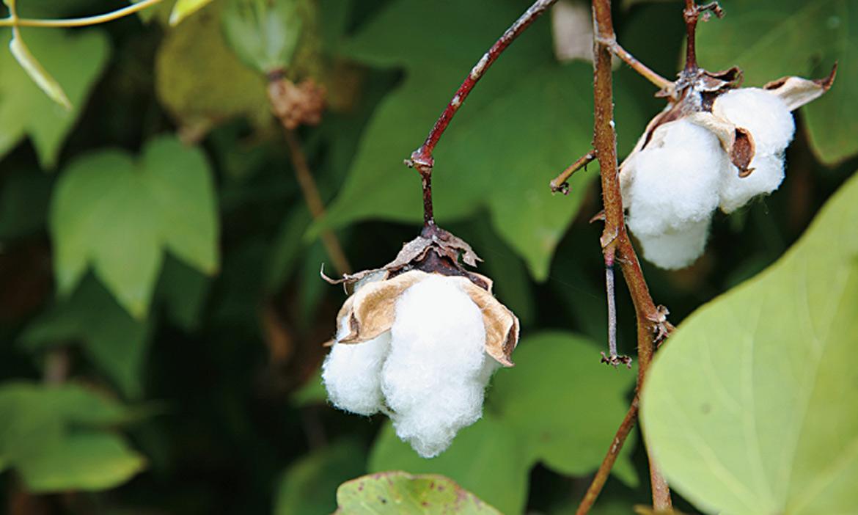 種回一朵朵記憶中的活棉花