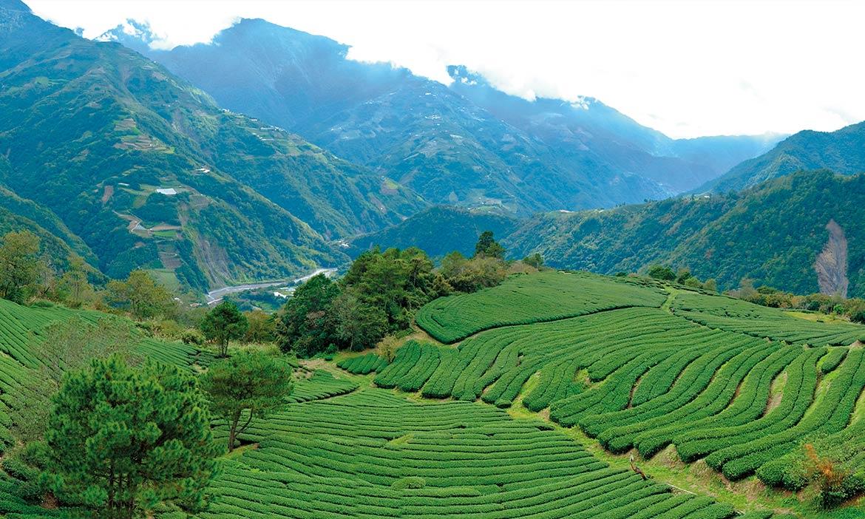 世大運選手指定台灣茶,二代茶農的零里程茶園