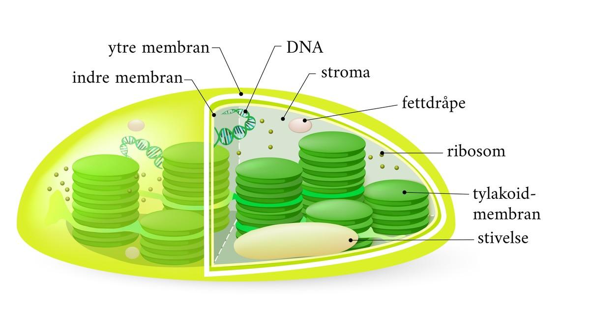 Standard kloroplaster