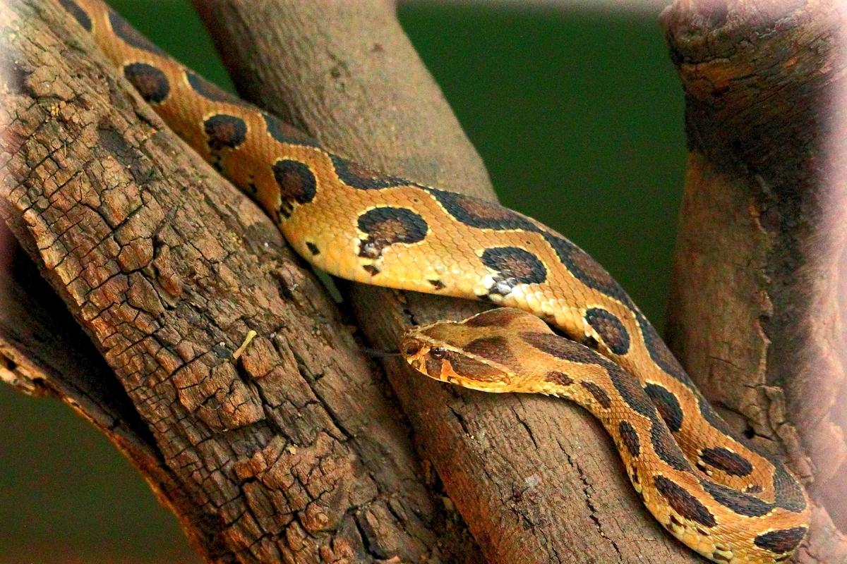 Standard russells viper in pune zoo 1