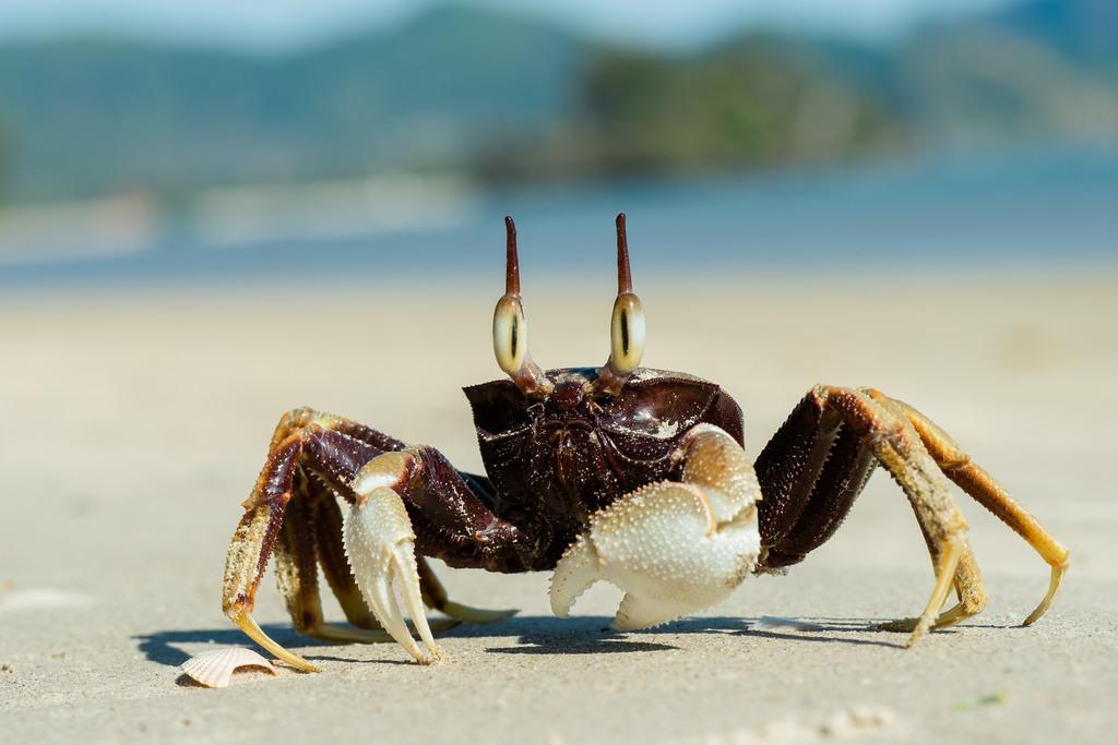 Verdens største krabbe