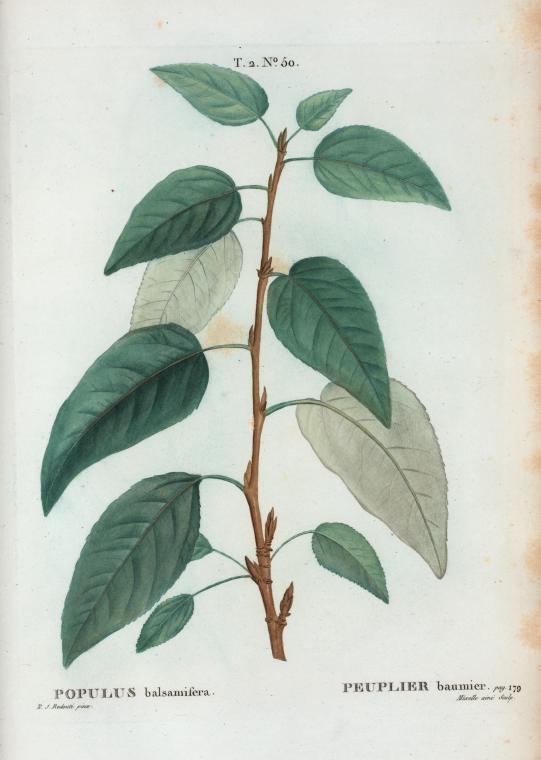 Standard balsampoppel