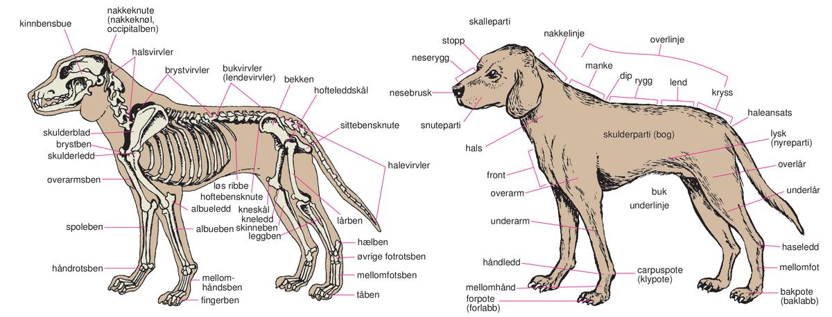 Hund til norge