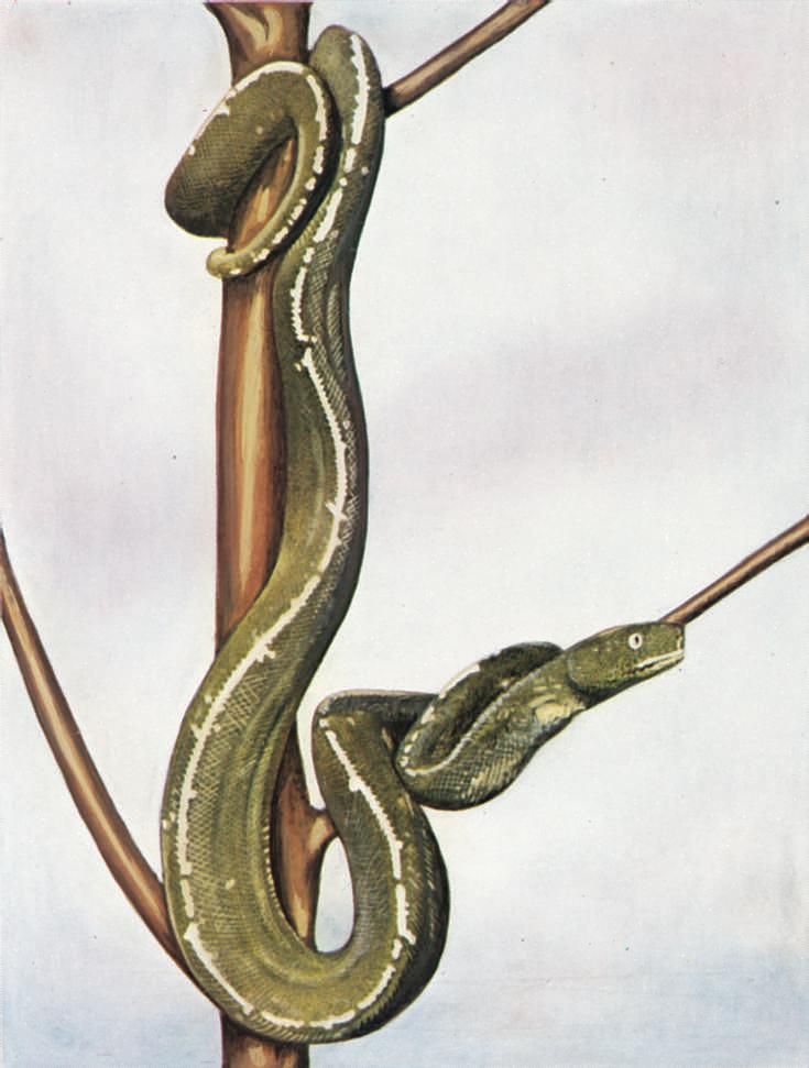 Standard pytonslanger