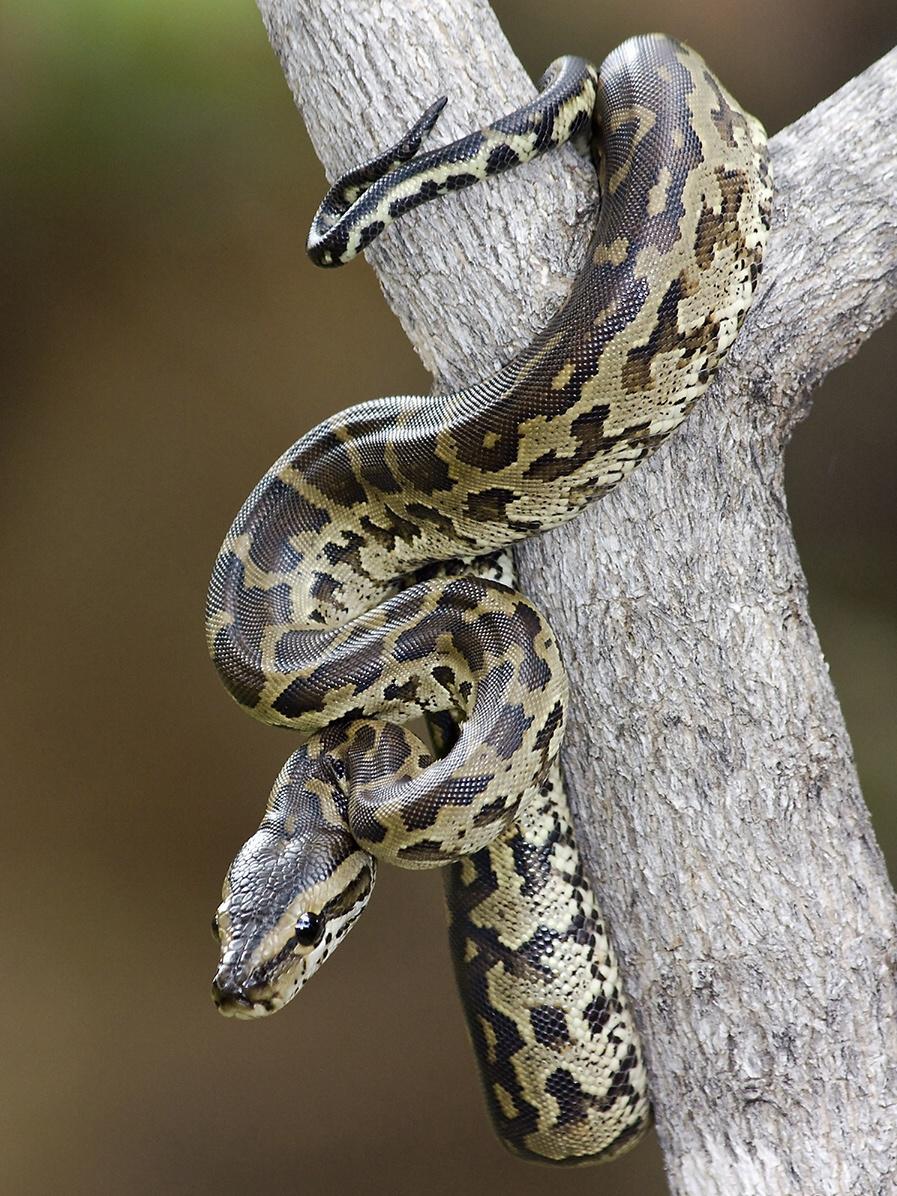 Standard python natalensis baby koedoesdraai1.33aspect 1