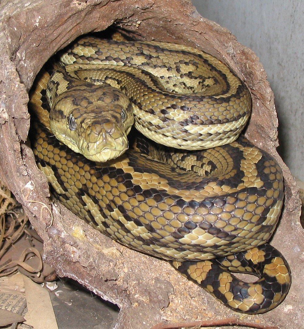 Standard australian carpet python 1