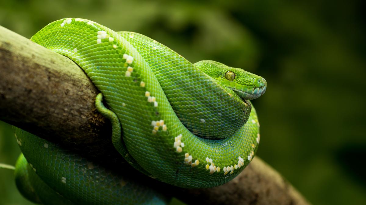Standard grønn trepyton