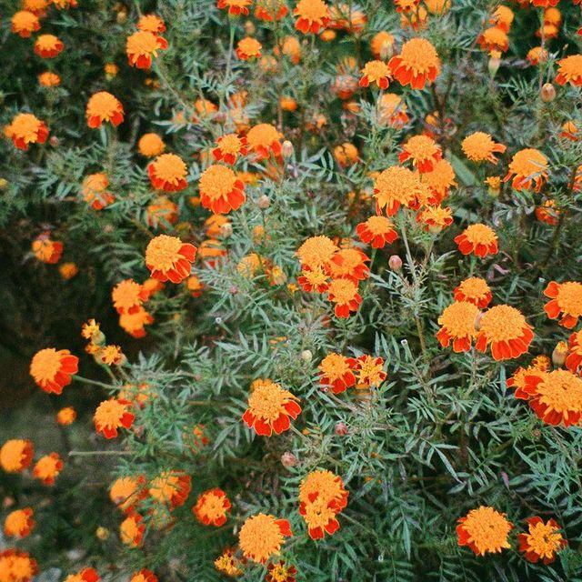 Marigolds of the Himalayas🧡🧡🧡🧡🧡🧡 Nepal 2019