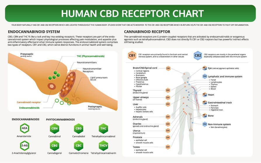 CBD-RECEPTOR-CHART