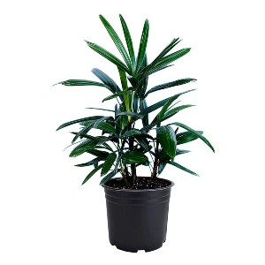 American Plant Exchange Lady Palm Rhapis Excelsa - Best Air Purifying Plants for Bedroom: Attractive Fan Pattern