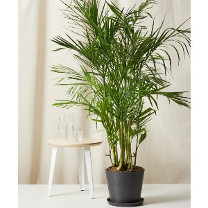 Bloomscape Bamboo Palm - Best Air Filtering Indoor Plants: Excellent Bamboo Palm
