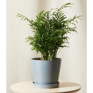Bloomscape Parlor Palm - Best Air Filtering Indoor Plants: Indoor Slow-Growing Plant