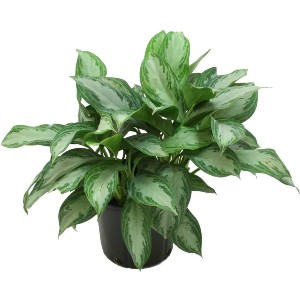 Costa Farms Silver Bay Aglaonema Chinese Evergreen - Best Air Purifying Plants for Bedroom: Low-Light Plants