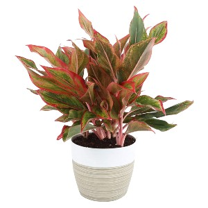 Costa Farms Aglaonema Red Chinese Evergreen Live Indoor Plant - Best Air Purifying Plants for Bedroom: Brighten Low-Light Room