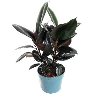 Hirt's Gardens Burgundy Rubber Tree Plant - Best Air Purifier Plants Indoor: Great Carbon Dioxide Absorption Plant