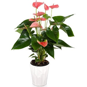 Just Add Ice Anthurium Easy Care Live Plants - Best Air Purifier Plants Indoor: Stunning Flower Color