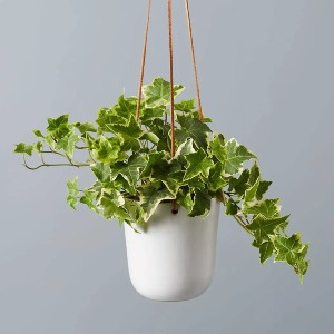 Plants.com ENGLISH IVY HANGING PLANT - Best Air Purifying Plants for Bedroom: Ideal for Nighttime Seasonal Allergies