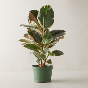 Terrain Tineke Ruby Ficus - Best Air Filtering Indoor Plants: Great Carbon Dioxide Absorption Plant