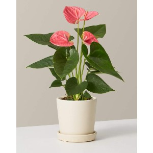 The Sill Pink Anthurium - Best Air Purifying Plants for Bedroom: Stunning Neon Blossoms