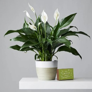 Plants.com SYMPATHY PEACE LILY PLANT (SPATHIPHYLLUM) - Best Air Filtering Indoor Plants: Stunning Peace Lilies Plant