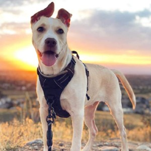10 Reviews: Best Dog Harness for Walking (Oct  2020)