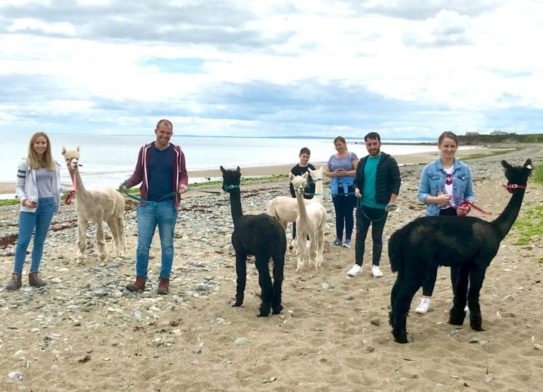 Herd of South American alpacas prove to be a big hit