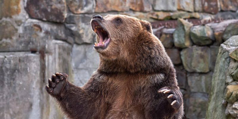 Angry bear growling in rage represents affirmations for anger