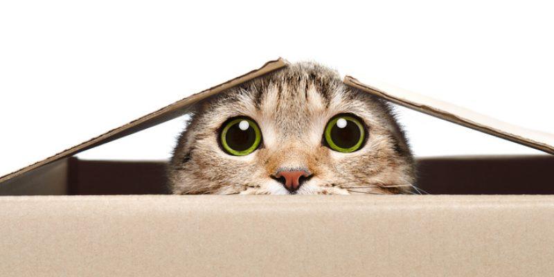 cat peeking out of moving box