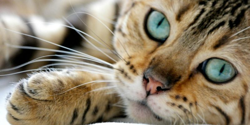 Close-up view of Bengal cat resting