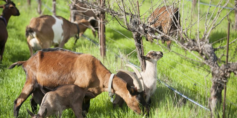 Frey Vineyards goats grazing