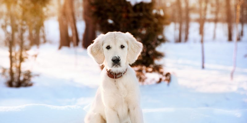 Cute golden retriever pandemic puppy sitting in the snow