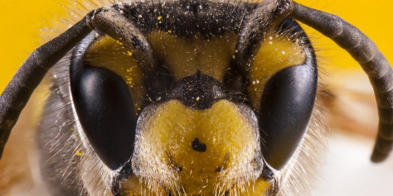 Face of a honeybee close up