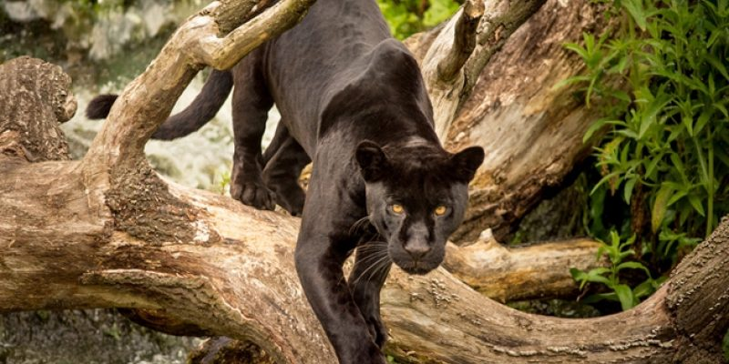 Black jaguar in tree