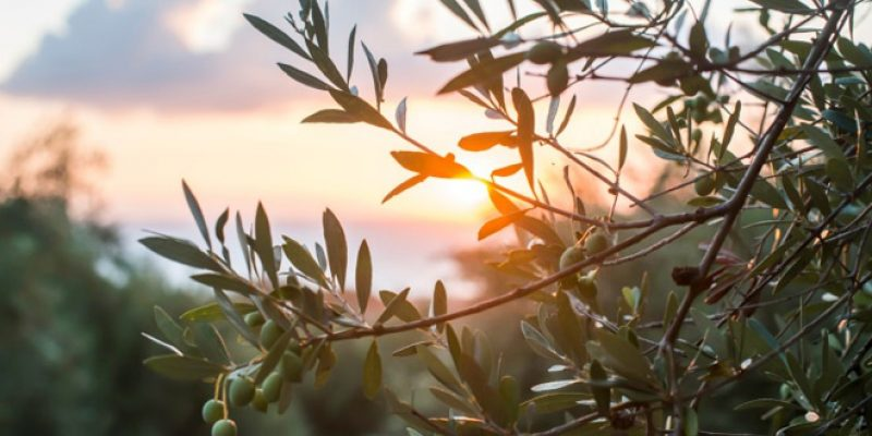 Olive branches at sunrrise