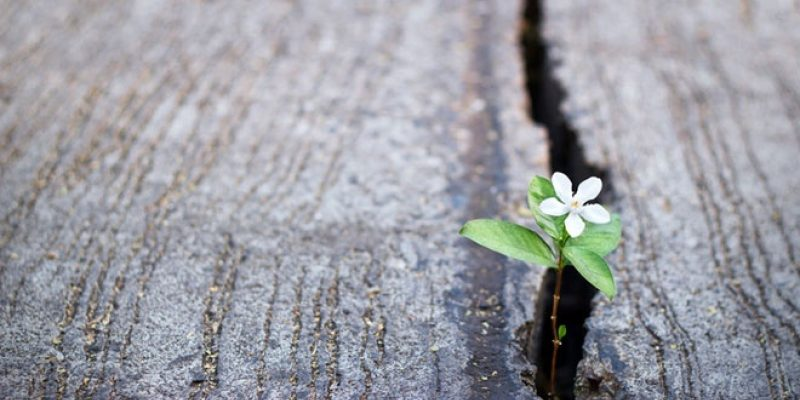 Small white flower growing in crack in pavement